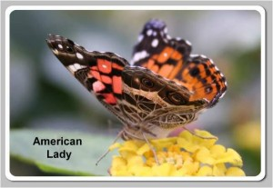American-Painted-Lady2-300x207
