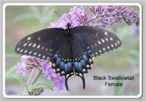 Black-Swallowtail4-300x209