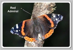 Red-Admiral1-300x208