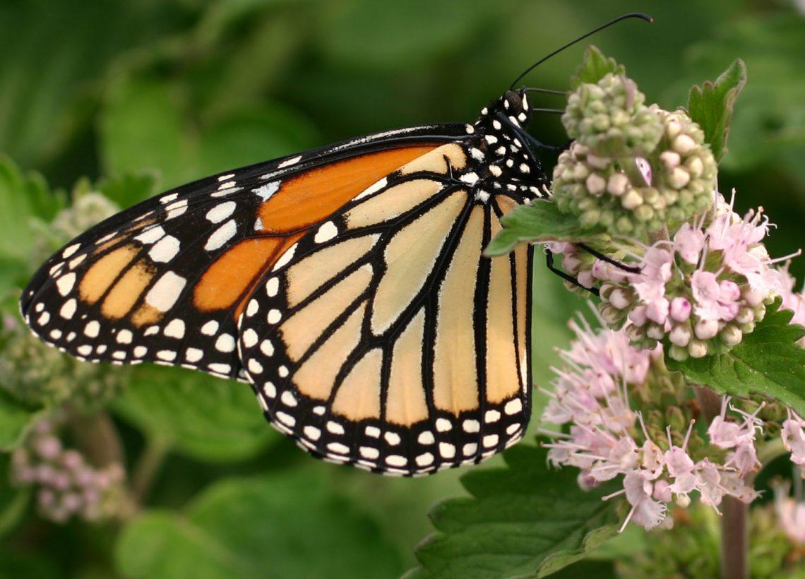 12 Monarch Butterflies for Release - Monarch Butterflies ... - photo#45