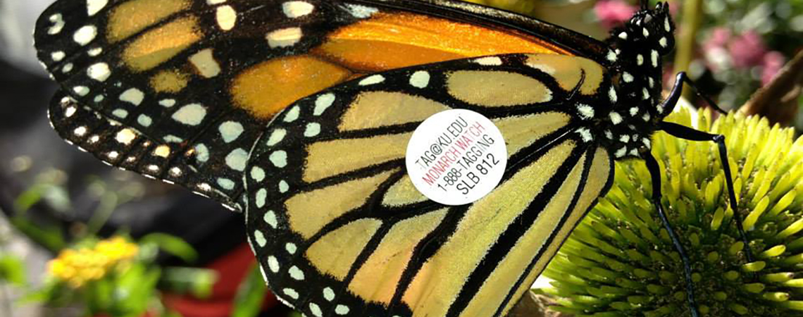monarch tag and release