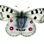 Apollo Butterfly Jewelry Bead