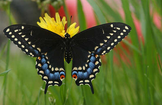 black swallowtail butterfly jewelry bead michigan native butterfly