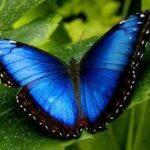 Blue Morpho Butterfly Jewelry Bead