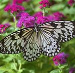 Butterfly Wing ( Paper Kite, Leuconoe obscurs) Earrings