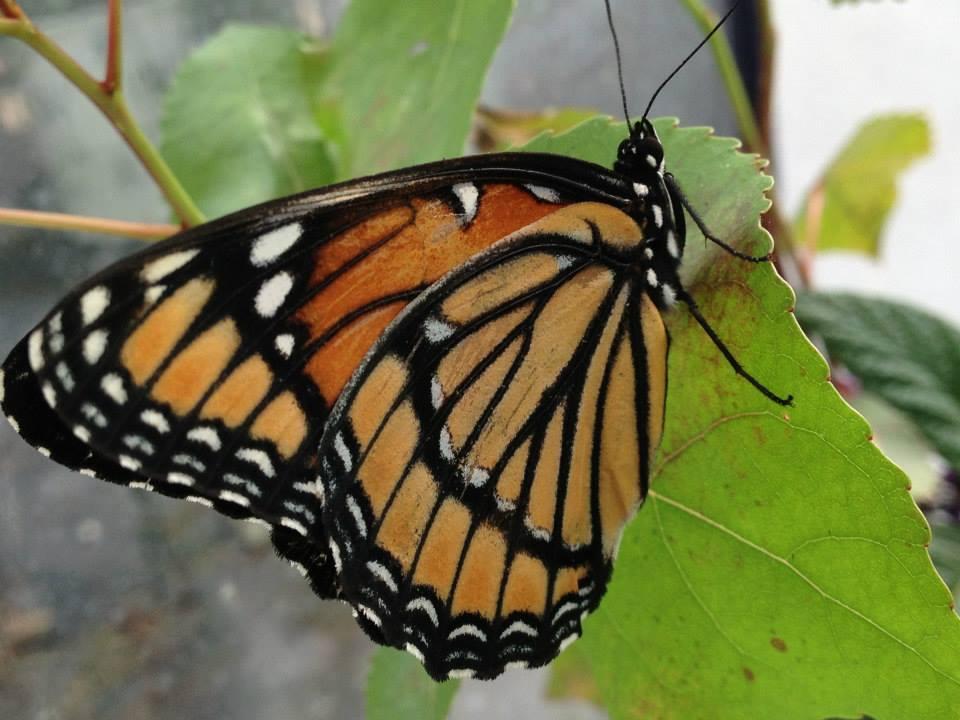 vicaroy Butterfly